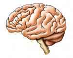 Gesunde Ernährung schützt das Gehirn